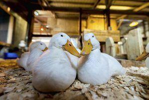 Quais são os ácaros pato?