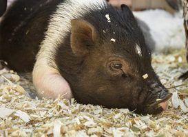 Quais são micro porcos?