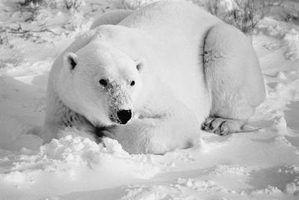 Quais são os fatores bióticos e abióticos que influenciam os ursos polares?