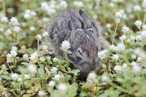 Quais são os hábitos de sono de coelhos?