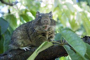 Quais são os efeitos colaterais da d-con veneno de rato?