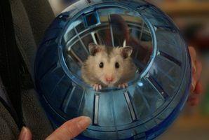 Quais são as causas do inchaço em hamsters?