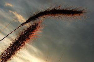 Quais são os perigos de pastagens de gramíneas de trigo para o gado?