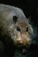 As diferenças entre javalis e porcos