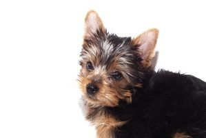 Quais são as diferenças de sexo masculino versus cachorrinhos de yorkie fêmeas?