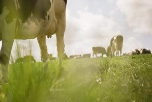 Quais são as raças de leite de vaca?