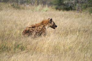 Quais são os predadores de cães selvagens africanos?