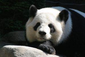 Quais são os predadores da panda gigante?