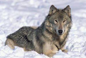 Lobo habitat