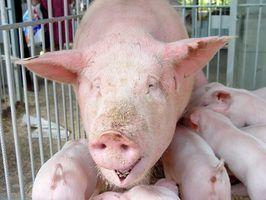 Quais são os tratamentos para a conjuntivite em suínos?