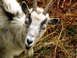 Quais são os tratamentos para micose em cabras?