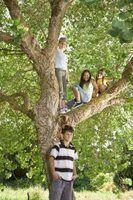 As árvores podem ser o anfitrião para crisopídeos, swallowtail do tigre e traça de luna.