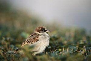 O que os pássaros comem sementes de milho?