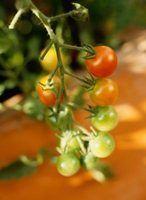 O que você pode usar para amarrar plantas de tomate?