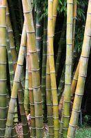 O que faz com que os assoalhos de bambu para deformar?