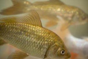 O que faz com que o material branco em flocos nos tanques de peixes?