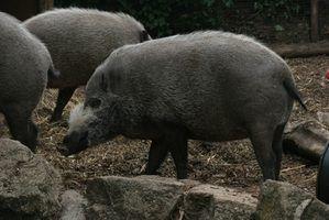 Qual faculdade equipes têm porcos para mascotes?