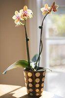 O que eu faço uma vez que as orquídeas têm caído fora da haste?