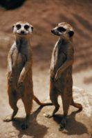 O que meerkats comer?