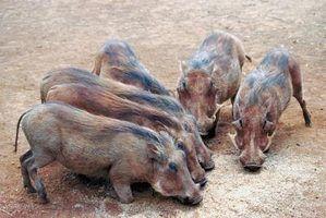 O que você alimentar os porcos?