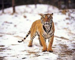 O que tigres comem