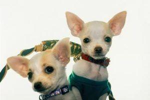 O que cães que você pode cruzar com um chihuahua feminino?