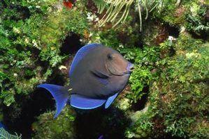 O peixe deve ser abastecido em um lago para manter as algas sob controle?