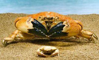 Quais os alimentos que ir com caranguejos cozinhados?