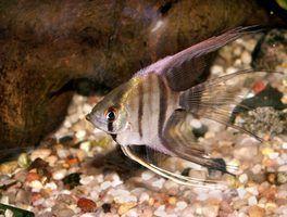 O que os germes estão em tanques de peixes que podem ferir as pessoas?