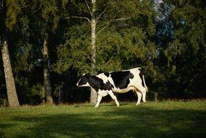 O que acontece se uma vaca não é ordenhadas?
