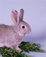O que acontece se um coelho come comida de gato?