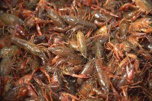 Qual é a diferença entre crawdads e lagostins?