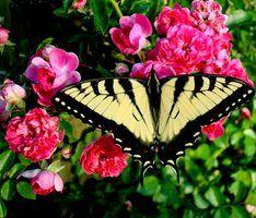 O que insetos comem buracos nas folhas de roseiras?