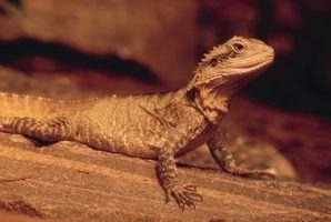 O que é um lagarto espinhoso texas?