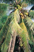 Descrição de um coqueiro