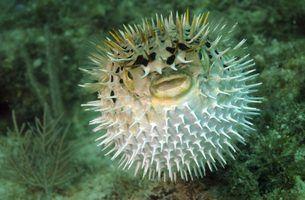 Qual é a diferença entre peixe baiacu & soprador?