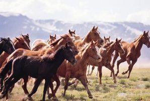 Qual é a diferença entre os cavalos domésticos e selvagens?