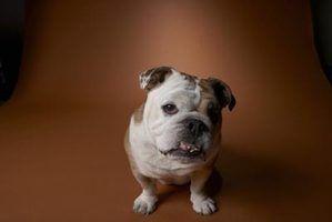 Qual é a diferença entre o inglês bulldogs e buldogues ingleses em miniatura?