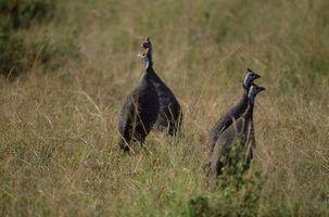 O que é a diferença entre as aves-da-índia masculinos e femininos?