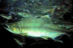 Qual é a diferença entre silverbrite & salmão vermelho?