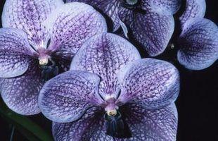 Qual é o nome da orquídea azul e roxo escuro?