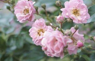 Que tipo de raízes que as rosas têm?