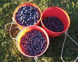 Que tipo de fertilizante que você colocar em plantas de mirtilo?