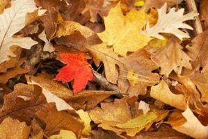 Quais as cores da folha do carvalho tem no outono?