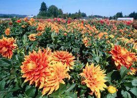 Algumas pessoas crescem campos de dálias para arranjos de flores de corte.