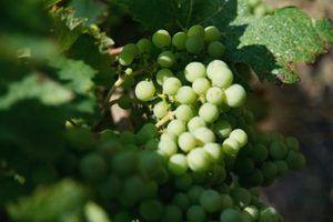 O que estados cultivar uvas?
