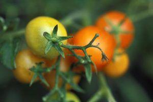 O que as temperaturas vão matar as plantas de tomate?