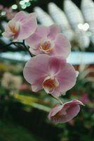 O que fazer após suas orquídeas são terminou de florescer