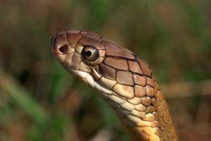 O que tenta comer cobras?