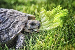 O que as tartarugas são melhores para animais de estimação?
